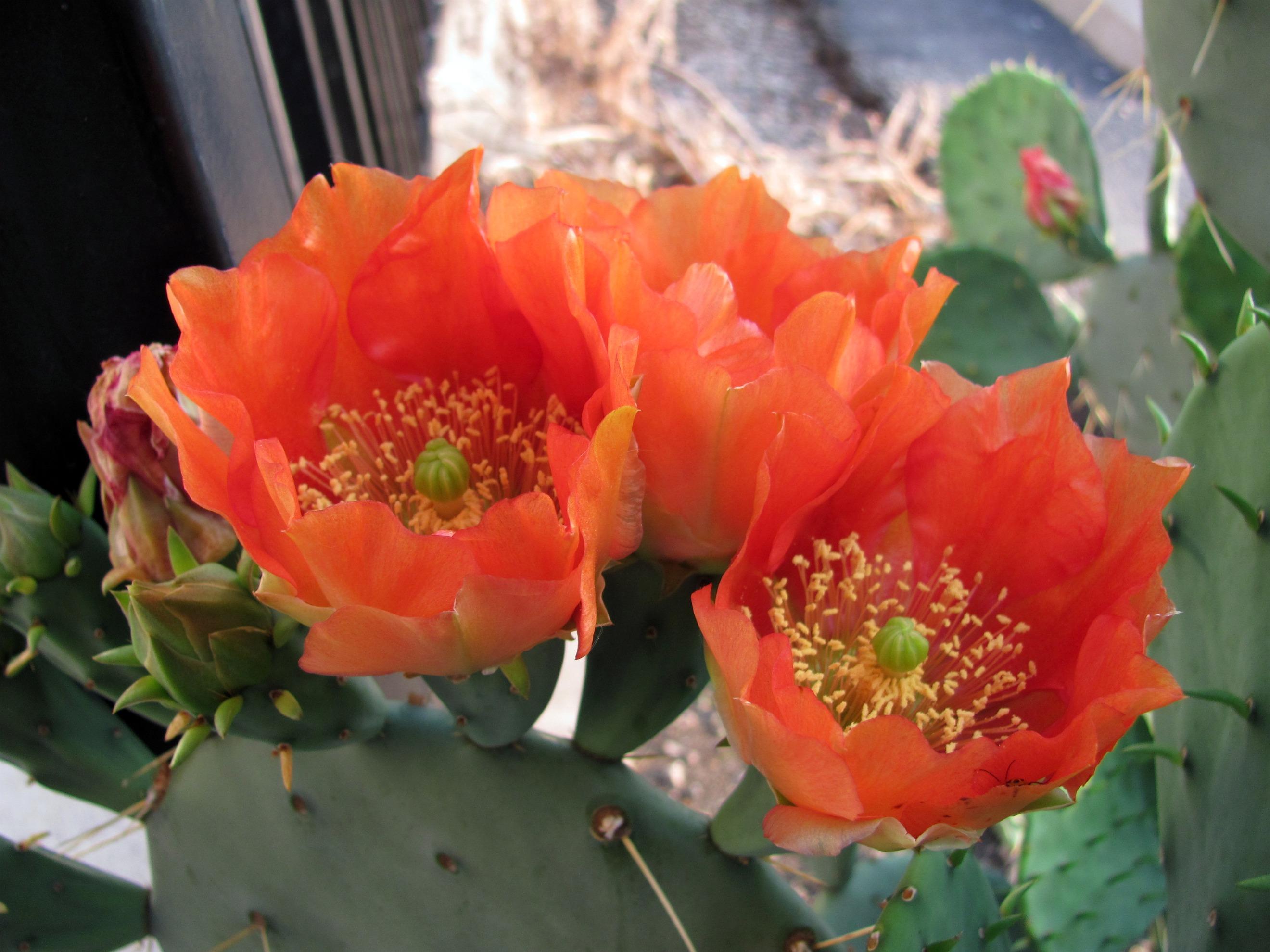 Prickly Pear Flower detail